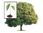 mango seedling and tree